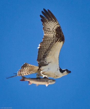 Lunch!  An Osprey, with a Salmon plucked from Fish Creek, flies over Steelfab in Anchorage's industrial area, at 11 AM, July 21. (Clark James Mishler)