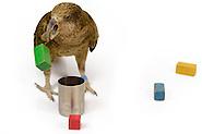 | Objekterkundung - Kea oder Bergpapagei (Nestor notabilis) - Das Bild wurde in Zusammenarbeit mit der Veterinärmedizinischen Universität Wien und der Universität Wien erstellt. Im Kea Lab des Messerli Forschungsinstituts werden die Tiere in einer 520 m2 großen Außenvoliere gehalten. Forscher können für die Versuche bestimmte Bereiche abtrennen und nur für einzelne Tiere zugänglich machen. (Solvin Zankl)
