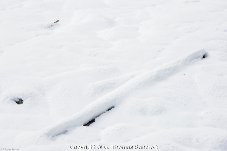 Snow, several feet deep, covered the flood plain of Nisqually River. (G. Thomas Bancroft)