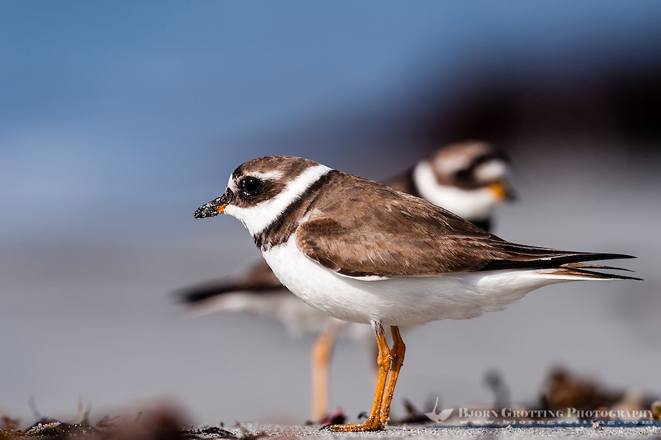 The Common Ringed Plover is a small plover. At Revtangen on Jaeren, south west Norway. (Photo Bjorn Grotting)