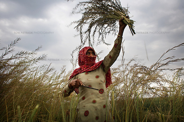 "Bhateri, age 65, harvests a mustard crop. Bhateri is an agricultural labourer from Lagarpur village in Haryana. She and other labourers are particularly vulnerable to the development of SEZs. Unlike land-owning farmers, she will receive no compensation for the acquisition of land and it is almost certain that she will not be offered employment in the high-tech industrial facilities proposed in SEZs. ..Reliance Industries (RIL), India's largest private company, has been granted a license to acquire and develop 25,000 acres of land as a Special Economic Zone (SEZ) in Jhajjar district in the state of Haryana. This land borders Delhi and is at present almost exclusively agricultural. The land has huge potential value as it borders Delhi and will be serviced by the proposed Kundli-Manesar-Palwal Expressway. At present RIL are offering farmers INR2.2 million (£27,000) per acre. Many of Jhajjar's farmers are refusing to sell and have joined a national struggle to resist the development of SEZs. ..India's Special Economic Zones (SEZs) are areas of land owned by private companies which are deemed to be foreign territory for the purpose of trade, duties and tariffs. SEZs have been declared ""public utilities"" making collective bargaining and strikes illegal. SEZs are not subject to India's Environment Protection Act. It is questionable whether SEZs are consistent with the Indian constitution. The Indian finance ministry is concerned that SEZs will distort land, capital and labour costs. SEZ exemption from tax and duties will result in lost revenue for India...The law allowing for the establishment of SEZs in India came into effect in February 2006. The law was not debated in parliament. According to the Citizen's Research Collective, a total of 760 SEZs have been approved in 20 states across India. At present most of the land designated for the development of SEZs is agricultural. The Government of India says it has promoted the scheme to encourage exports, create jobs and rai (Tom Pietrasik)"
