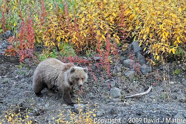 Grizzly Bear. Image taken with a Nikon D3 camera and 80-400 mm VR lens (ISO 1600, 400 mm, f/8, 1/320 sec). (David J Mathre)