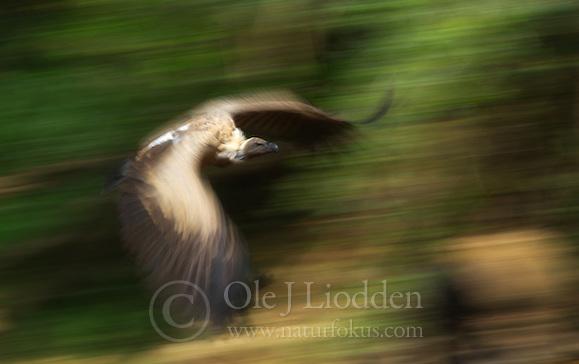 White-backed Vulture (Gyps africanus) (Ole Jørgen Liodden)