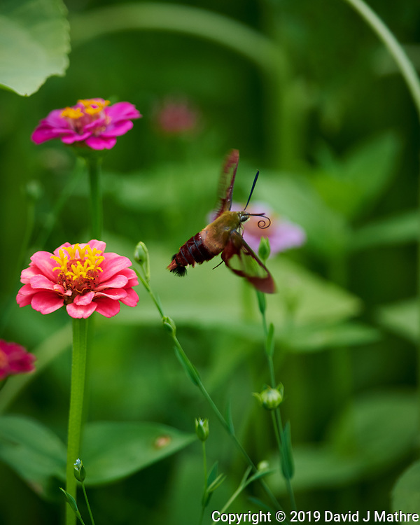 Clerawing Hummingbird Moth in Flight. Image taken with a Nikon D850 camera and 300 mm f/4 lens (DAVID J MATHRE)