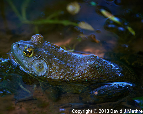 Kermit the Bull Frog in a Pond in the Sourland Mountain Preserve. Summer Nature in New Jersey. Image taken with a Nikon D800 and 500 mm f/4 VR lens (ISO 560, 500 mm, f/4, 1/200 sec). (David J Mathre)