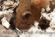This orange female mouse is hunkered down in some bedding eating a sunflower seed.  But what's awesome is that you can actually see her lower eyelashes; she has at least 5 long straight hairs easily visible at the bottom of her left eye.  In fact, I didn't even know mice had eyelashes until I looked at this picture at 100% zoom. (Marc C. Perkins)