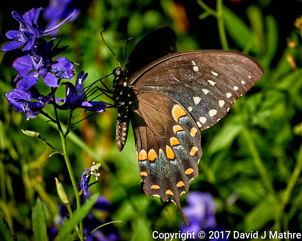 Black Swallowtail Butterfly on purple delphinium bloom. Backyard summer nature in New Jersey. Image taken with a Nikon N1 V3 camera and 70-300 mm VR telephoto zoom lens (ISO 400, 300 mm, f/5.6, 1/640 sec) (David J Mathre)