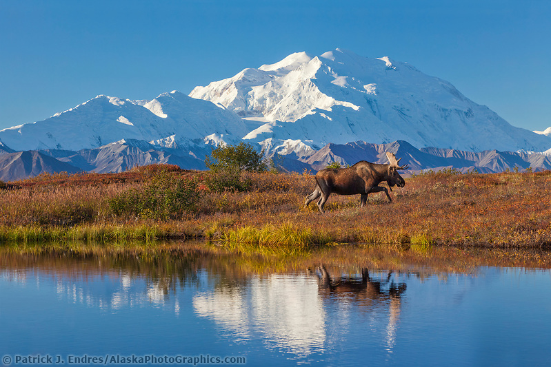 Bull moose reflection in a small kettle pond with the summit of Denali in the distance, Denali National Park, Alaska. (Patrick J Endres / AlaskaPhotoGraphics.com)