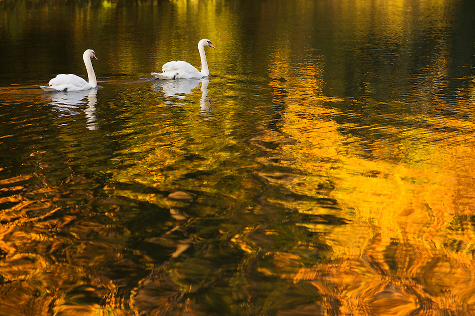 Against the reflection of autumn colors, a pair of swans cross Lake LaVerne on the campus of Iowa State University in Ames, Iowa. (Christopher Gannon/Gannon Visuals) (Christopher Gannon)