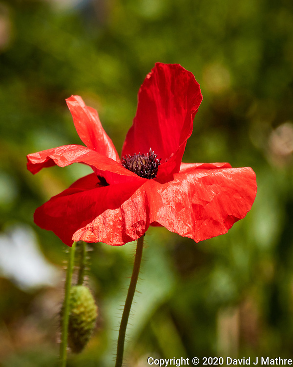 Red Poppy. Image taken with a Nikon N1V3 camera and 70-300 mm VR lens (ISO 160, 224 mm, f/5.6, 1/1000 sec). (DAVID J MATHRE)