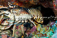 Spiny Lobster, Palinuridae argus, hiding under ledge Grand Cayman (Steven Smeltzer)