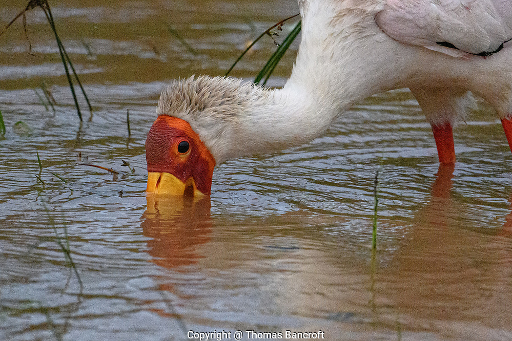 The long bill of a Yellow-billed Stork allows the bird to feed in water more than a foot deep. The bill is highly sensitive and when it touches a prey item, it snaps shut. (Thomas Bancroft)