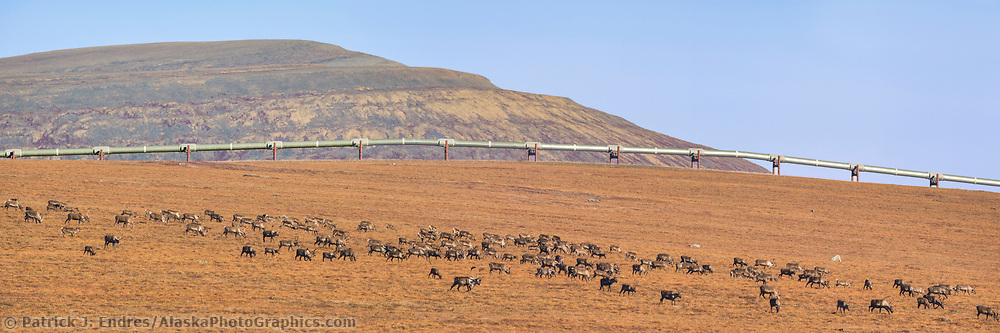 Panorama of barren ground caribou migrating across the autumn Arctic tundra near Slope Mountain on the edge of the Arctic North Slope, Alaska. (Patrick J Endres / AlaskaPhotoGraphics.com)