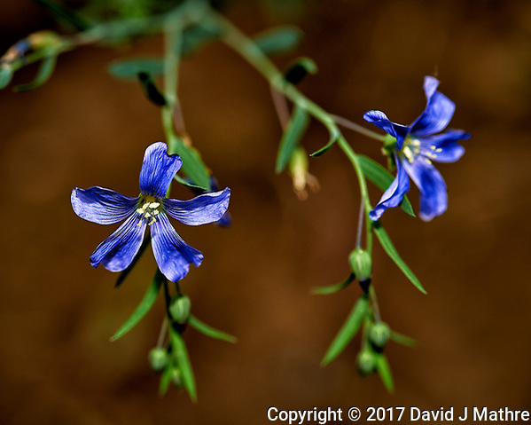 Blue wildflower. Backyard spring nature in New Jersey. Image taken with a Nikon Df camera and 105 mm f/2.8 VR macro lens (ISO 100, 105 mm, f/8, 1/125 sec). (David J Mathre)