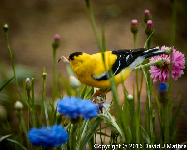 American Goldfinch Feasting on the Bachelor Button Flowers. Image taken with a Fuji X-T1 camera and 100-400 mm OIS lens (David J Mathre)