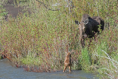 After dozens of attempts, the tiny calf reaches the shore as his mother looks on. (Sandy Sisti)