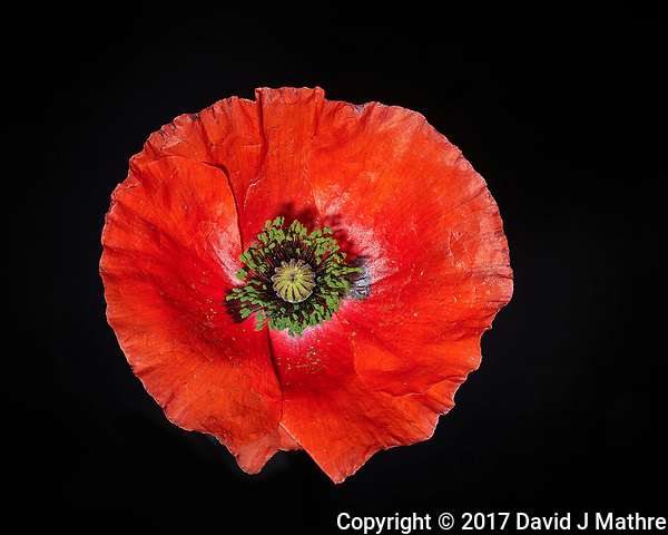 First Red Poppy flower this year. Backyard spring nature in New Jersey. Composite of 74 focus stacked images taken with a Nikon Df computer and 105 mm f/2.8 VR macro lens (ISO 100, 105 mm, f/4, 1/200 sec) and SB-910 flash (TTL, EV 0). Kirk linear track 1 mm intervals over 7.4 cm. Composite created using Helicon Focus (Method B, R=8, S=4) (David J Mathre)