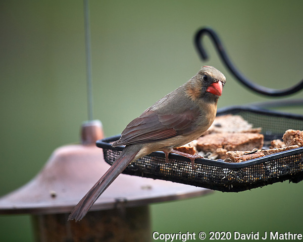 Female Northern Cardinal. Image taken with a Nikon D5 camera and 600 mm f/4 VR lens (ISO 180, 600 mm, f/4. 1/1250 sec) (DAVID J MATHRE)
