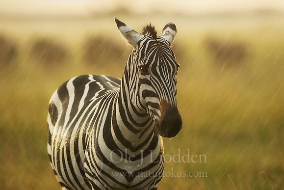 Plains Zebra (Equus quagga) in hevy rain in Masai Mara, Kenya (Ole Jørgen Liodden)