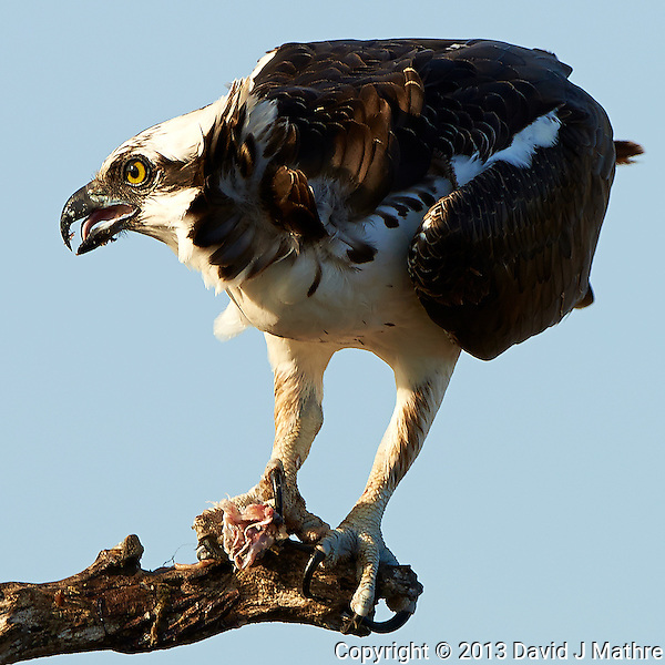Osprey with a Fish for Breakfast. Merritt Island National Wildlife Refuge in Florida. Image taken with a Nikon D800 camera and 500 mm f/4 VR lens (ISO 100, 500 mm, f/5.6, 1/640 sec). (David J Mathre)