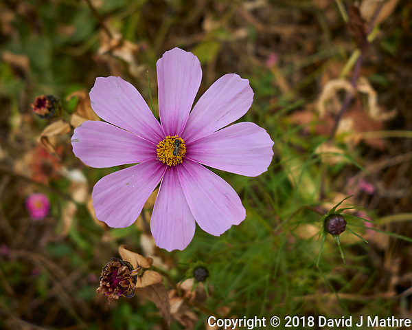 Late Blooming Pink Cosmos Flower. Image taken with a Leica CL camera and 18 mm f/2.8 lens (David J Mathre)