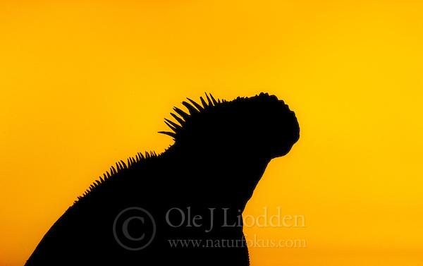 Galápagos Land Iguana (Conolophus subcristatus) (Ole Jørgen Liodden)