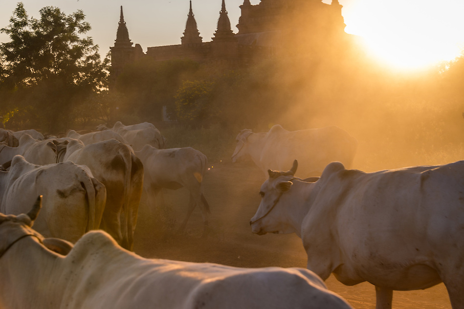 BAGAN, MYANMAR - CIRCA DECEMBER 2013: Cattle in the afternoon near Bagan in Myanmar (Daniel Korzeniewski)