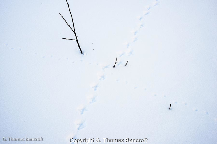 Ptarmigan tracks and mice tracks show that wildlife were out searching for food in this snow covered landscape. (G. Thomas Bancroft)
