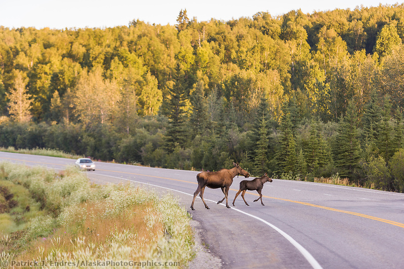 Cow and calf moose run across the Richardson Highway. (Patrick J. Endres / AlaskaPhotoGraphics.com)
