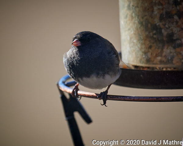 Dark-eyed Junco. Image taken with a Nikon D5 camera and 600 mm f/4 VR lens (ISO 320, 600 mm, f/4, 1/1250 sec). (DAVID J MATHRE)