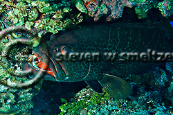 Tiger Grouper, Mycteroperca tigris, at a cleaning station, Grand Cayman (Steven Smeltzer)