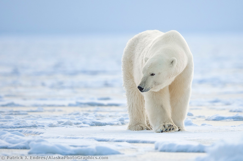 Polar bear on the Beaufort Sea Ice in Arctic, Alaska. (Patrick J Endres / AlaskaPhotoGraphics.com)
