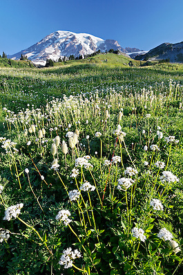 Mount Rainier above meadow full of sitka valerian, Edith Creek, Mount Rainier National Park, Pierce County, Washington, USA (Brad Mitchell/Brad Mitchell Photography)
