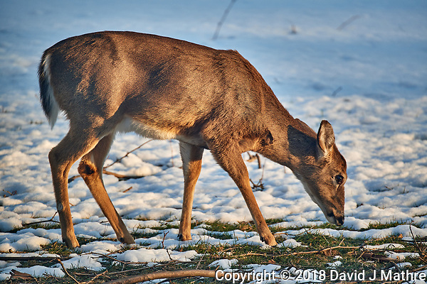 Doe looking for a meal in the snow in the afternoon sun. Image taken with a Nikon D5 camera and 80-400 mm VRII telephoto zoom lens (ISO 500, 400 mm, f/5.6, 1/400 sec) (David J Mathre)
