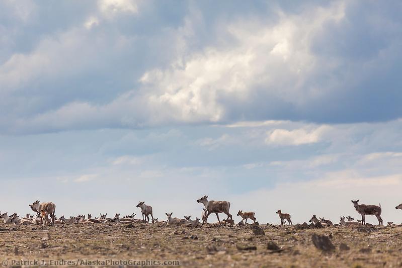 Western arctic caribou herd migrates in the Utukok uplands, National Petroleum Reserve Alaska, Arctic, Alaska. (Patrick J. Endres / AlaskaPhotoGraphics.com)