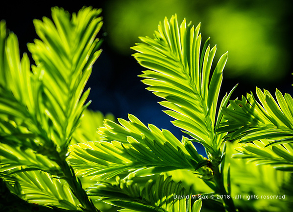 5.27.18 - Green Featheres... (© David M Sax 2018 - all rights reserved)