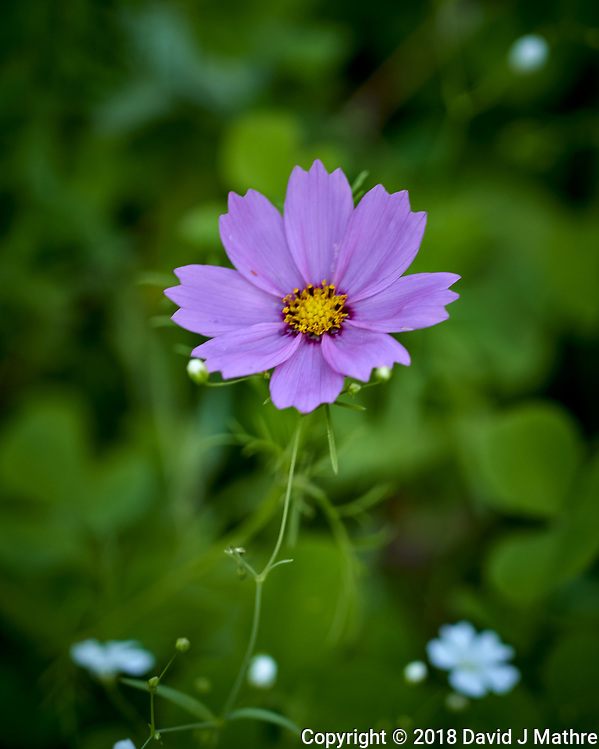 Violet Cosmos Flower. Image taken with a Leica TL2 camera and 60 mm f/2.8 macro lens. (David J Mathre)