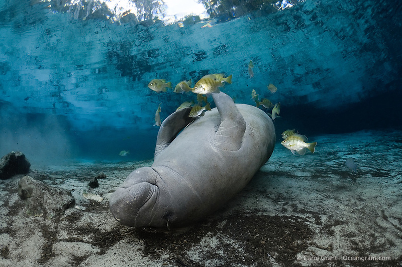 Manatee sleeps with the fishes manatee tales for Sleeping with the fishes