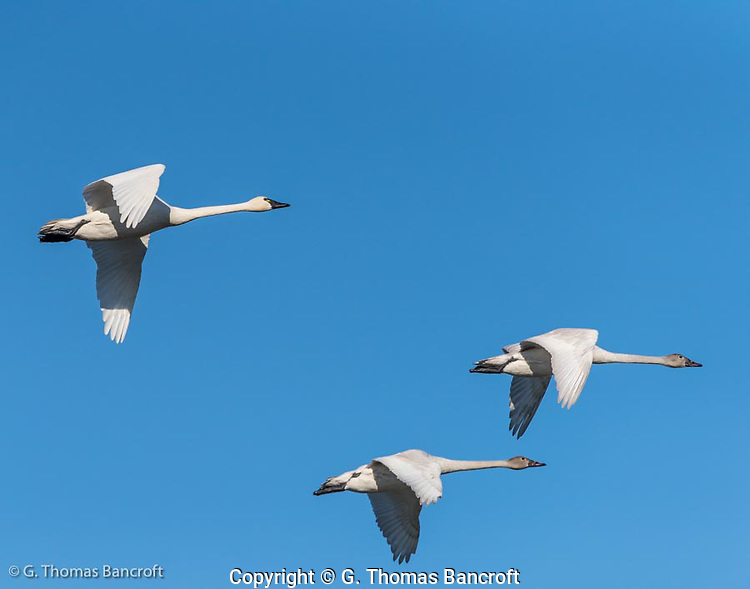 Two young tundra swans accompany a parent as the group heads inland from Hayton Reserve on Skagit Bay. (G. Thomas Bancroft)