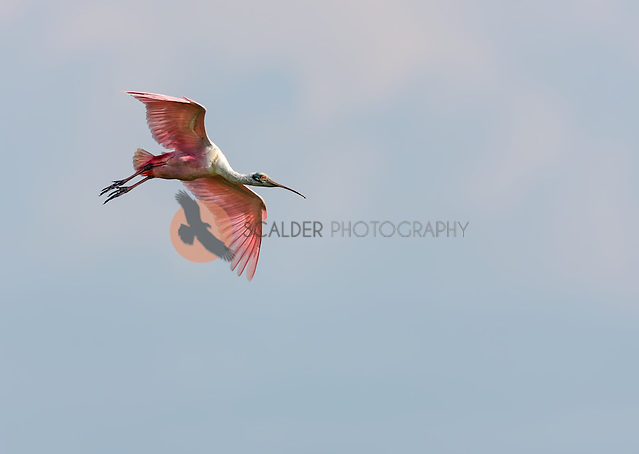 Roseate Spoonbill in flight, descending against soft blue sky (sandra calderbank)