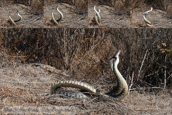 A five image sequence of two southern pacific rattlesnakes (_Crotalus oreganus_ helleri) mating.  I first noticed the pair when I was only a foot or two away from them on a trail; after moving a bit away I captured these five shots of the two snakes wrapping around each other.  The top four images were captured over no more than 2 seconds total, and the large image was taken less than 7 seconds after the top four. (Marc C. Perkins)