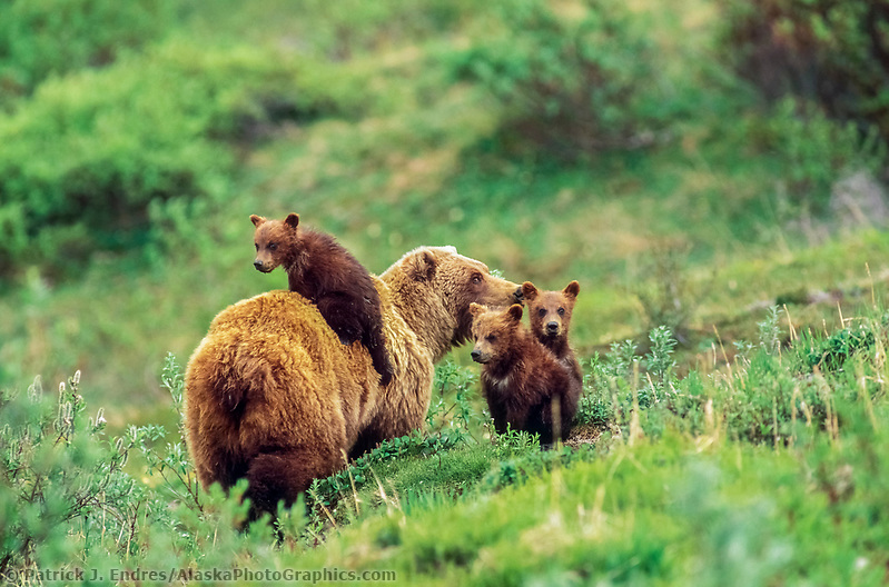 Sow grizzly bear and three (triplet) spring cubs, one jumped on her back, on the green summer tundra in Denali National Park, Alaska. Ⓒ Patrick J. Endres / AlaskaPhotoGraphics.com