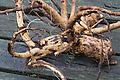 Echter Alant, Wurzel, Wurzelstock, Helenenkraut, Inula helenium, Elecampane, Scabwort, Horse-heal, Marchalan, Root, roots, root-stock, taproot (Frank Hecker)