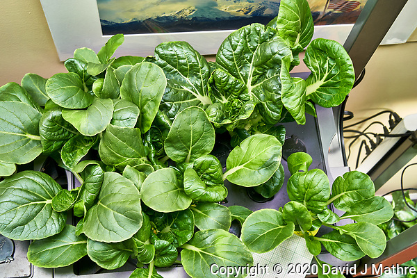 AeroGarden Farm 09-Right. Positions 01-02, 04-07 Bok Choi at day 21. Position 03 Bok Choi transferred from other Farm. Image taken with a Leica TL-2 camera and 35 mm f/1.4 lens (ISO 640, 35 mm, f/8, 1/30 sec). (DAVID J MATHRE)
