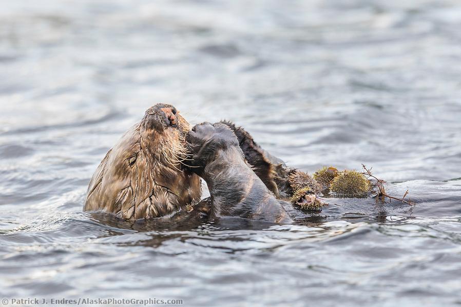 Sea otter eats urchins in Captains bay, Dutch Harbor, Aleutian Islands, Alaska (Patrick J Endres / AlaskaPhotoGraphics.com)