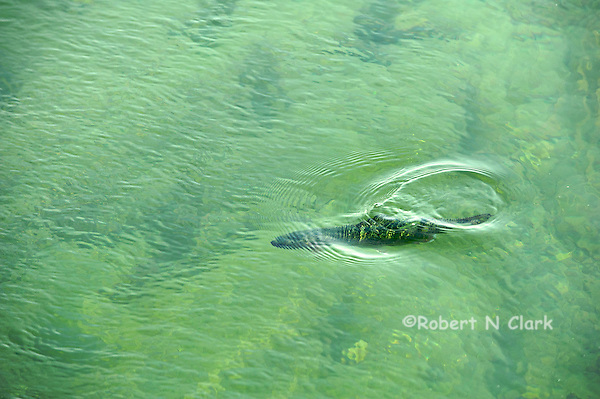 Trout in the water at Kilpatrick Bridge, Silver Creek Preserve (Bob Clark)