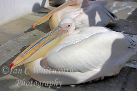 Island mascot, Petros the pelican in Mykonos in Greece (Ian C Whitworth)