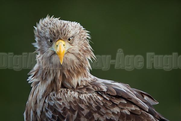 Havørn fotografert fra skjul på Smøla | White-tailed Eagle captured from shelter at Smøla, Norway (Photographer: Kay-Age Fugledal)