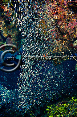 Reef Silversides, Atherinidae, Clupeidae, Engraulididae, Orange Canyon, Grand Cayman (Steven Smeltzer)