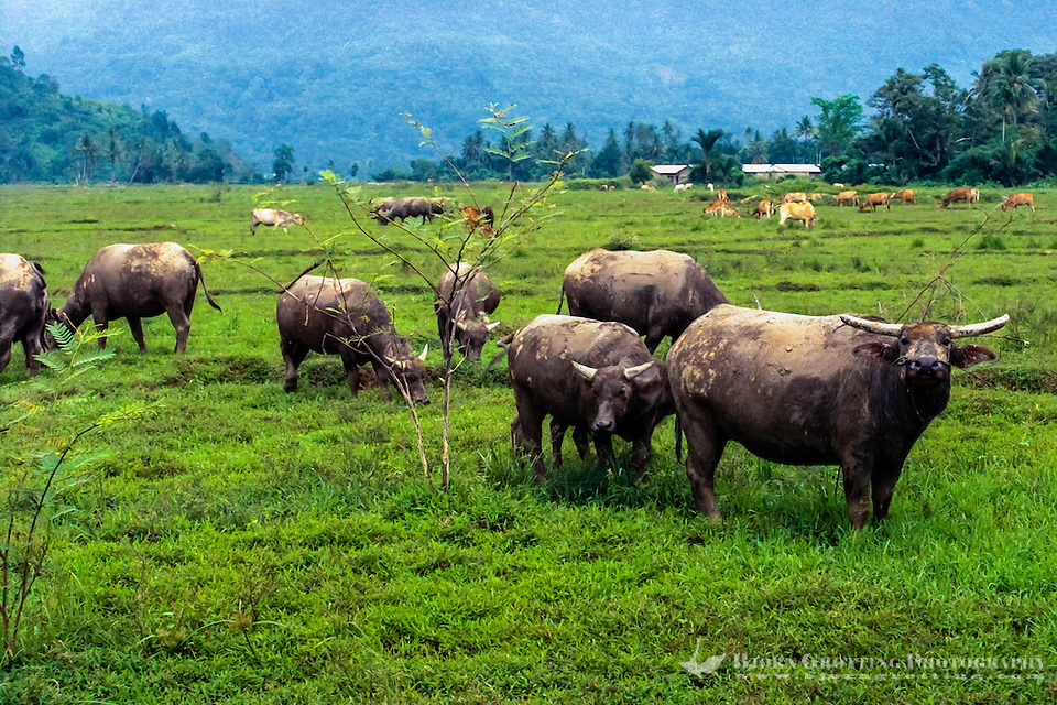 West Sumatra. South of Padang. Water buffaloes, (Kerbau) are still used in traditional farming. (Bjorn Grotting)